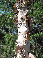 Betula nigra River Birch tree peeling ornamental bark