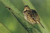 Savannah Sparrow, Passerculus sandwichensis, adult on Trecul Yucca (Yucca treculeana) , Lake Corpus Christi, Texas, USA, April 2003