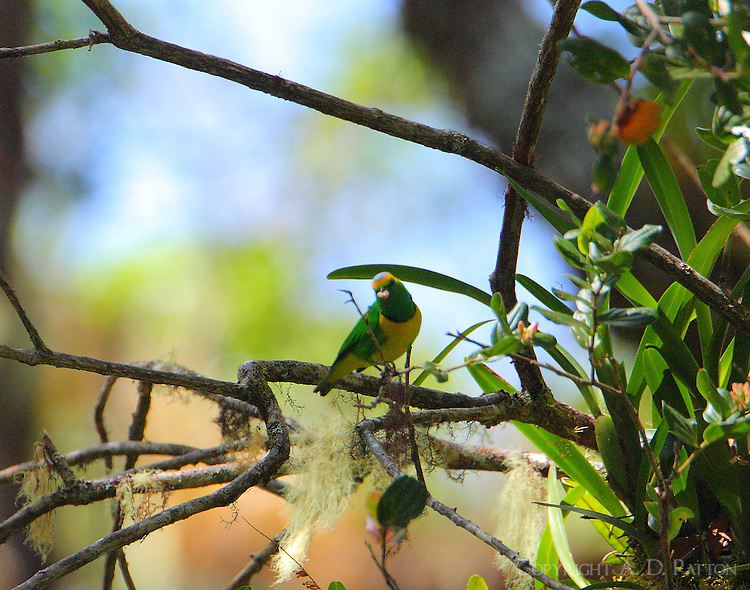 Adult male golden-browed chlorophonia eating fruit high in tree in primal oak forest high above Savegre River.