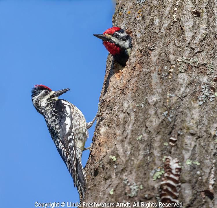 Yellow-bellied sapsucker parents at their cavity nest in northern Wisconsin.