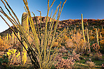 Saguaro and Ocotillo cacti in the Sonoran Desert in Saguaro National Park - Tucson Mountain District in Tucson, AZ, USA