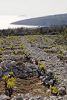 Croatie/Dalmatie/Primosten: Le vignoble