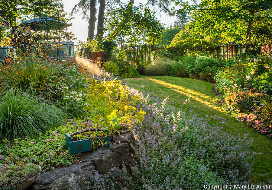 Vashon-Maury Island, WA: Sunlight on summer perennial garden featuring a sweep of Walker's Low Catmint (Nepeta racemos) ; sedum and echinacea.