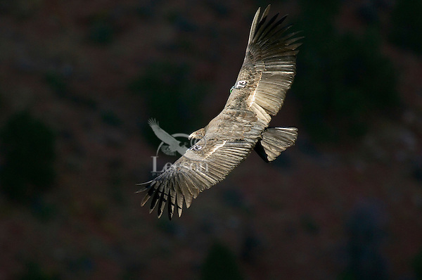 California Condor (Gymnogyps californianus) soaring .  Western U.S.