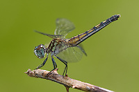 Blue Dasher (Pachydiplax longipennis) Dragonfly - Female, West Harrison, Westchester County, New York