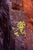 A lone tree emerges from the tri-colored sandstone of a canyon deep in the Narrows of Zion National Park.