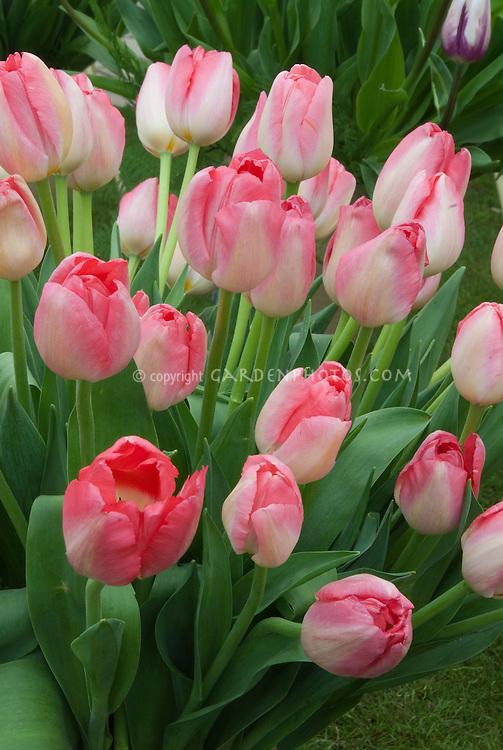 Tulips Judith Leyster in spring bulbs flowers