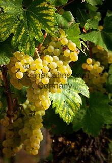 Deutschland, Baden-Wuerttemberg, Ortenaukreis: Weinreben   Germany, Baden-Wurttemberg, Ortenau district: grapes
