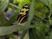 BOGOTÁ-COLOMBIA-15-01-2013. Mariposa Mechanitis Polymnia. Butterfly Mechanitis Polymnia. (Photo:VizzorImage)