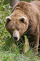 Brown bear, Katmai National Park, southwest, Alaska.