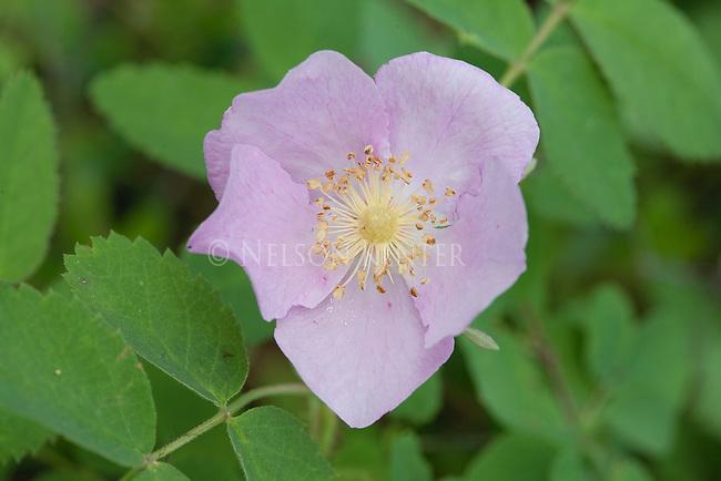 Wild Rose flowers in Montana