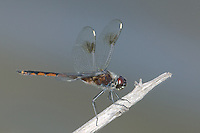 Four-spotted Pennant (Brachymesia gravida) Dragonfly - Juvenile Male, Tierra Verde Pond, Tierra Verde, Pinellas County, Florida