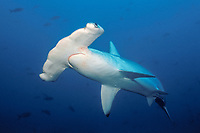 scalloped hammerhead shark, Sphyrna lewini, Darwin Island, Galapagos, Ecuador, Pacific Ocean