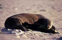 Hawaiian Monk Seals, mother and pups, Laysan I.