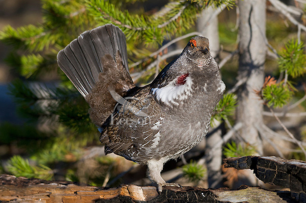Blue Grouse or Dusky Grouse (Dendragapus obscurus) male performing spring mating display (hooting).  Western U.S., May.