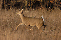 00275-198.17 White-tailed Deer (DIGITAL) doe is bounding with tail raised in meadow during fall.  Run, action, hunting.  H6L1