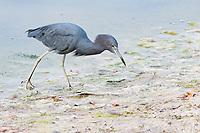 bird, Little Blue Heron, Egretta caerulea, with fishing line stuck in its mouth, in Ding Darling National Wildlife Refuge, Sanibel Island, Florida, Gulf of Mexico, Atlantic