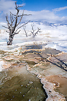 A fine art landscape winter image of bare snags reaching up out of Canary Spring towards a blue sky with white clouds against winter mountains, with patterns of hot springs and mineral terraces in the foreground, near Mammoth, Wyoming, in Yellowstone National Park.