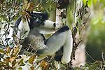 Indri, Madagascar