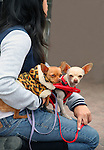 Chihuahuas are the smallest breed of dog in the world. They are named after the state of Chihuahua in Mexico, and believed to have originated there. They come in a wide variety of sizes, head shapes, colors and coat lengths and have a life expectancy between 10-17 years.