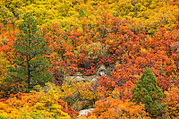 Not just the aspens turn beautiful colors in the fall.  Hillsides of oak bushes also join in the vibrant fall color display in Colorado.