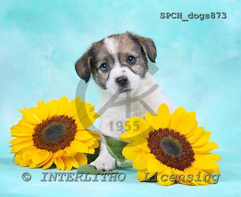 Xavier, ANIMALS, dogs, photos+++++,SPCHDOGS873,#a# Hunde, perros