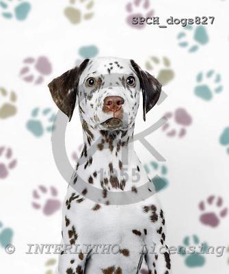 Xavier, ANIMALS, dogs, photos, SPCHDOGS827,#a# Hunde, perros