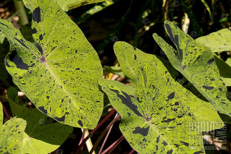 Taro leaves at Hawaii Tropical Botanical Garden near Onomea Bay in Papa'ikou near Hilo, Big Island of Hawai'i.