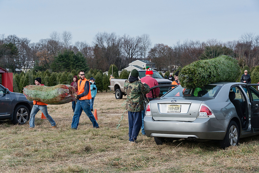 Customers secure freshly cut trees selected at a Christmas tree farm, New Jersey, USA