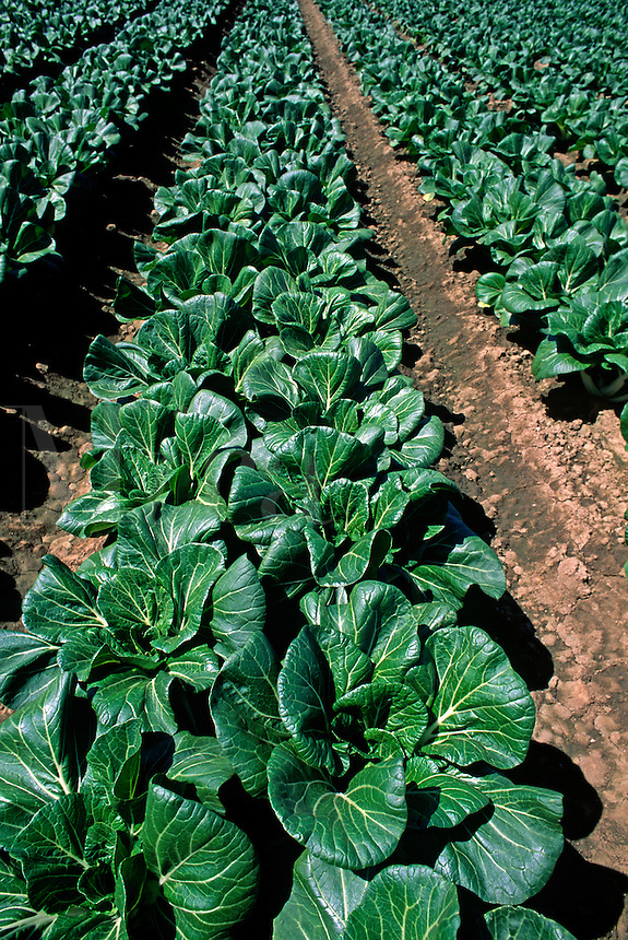 Rows of Bok Choy - Salinas Valley, California