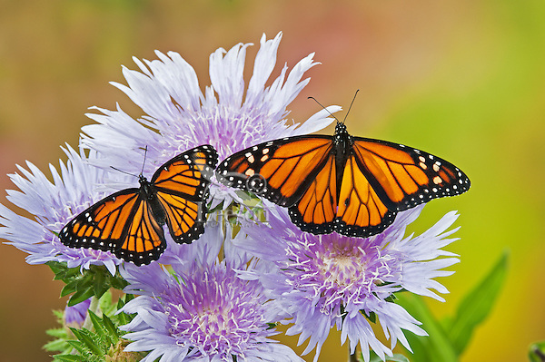 Monarch (r.) (Danaus plexippus) & Viceroy (Limenitis archippus) butterflies on Stokes' Aster (Stokesia laevis) flowers, summer, North America.  Viceroy is Mullerian mimic: looks like Monarch & both distasteful to predators.