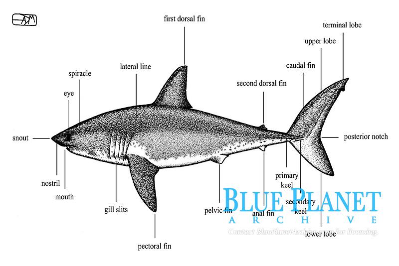Salmon shark, Lamna ditropis, external anatomy, pen and ink illustration.