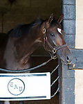 DEL RAY BEACH, FL - APRIL 15: 2017  Kentucky Derby contender Always Dreaming trained by Todd Pletcher looks out of his stall at Palm Beach Downs, Del Ray Beach, FL. (Photo by Arron Haggart/Eclipse Sportswire/Getty Images)