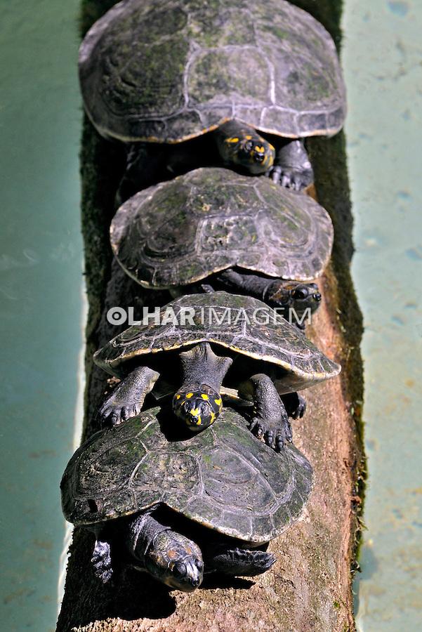Animais. Reptis. Tartarugas. SP. Foto de Juca Martins.