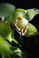 White symbidium orchid, New York.