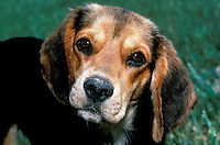 Quizzical beagle puppy demonstrate classic dog look-- watching humans closely, summer midwest USA