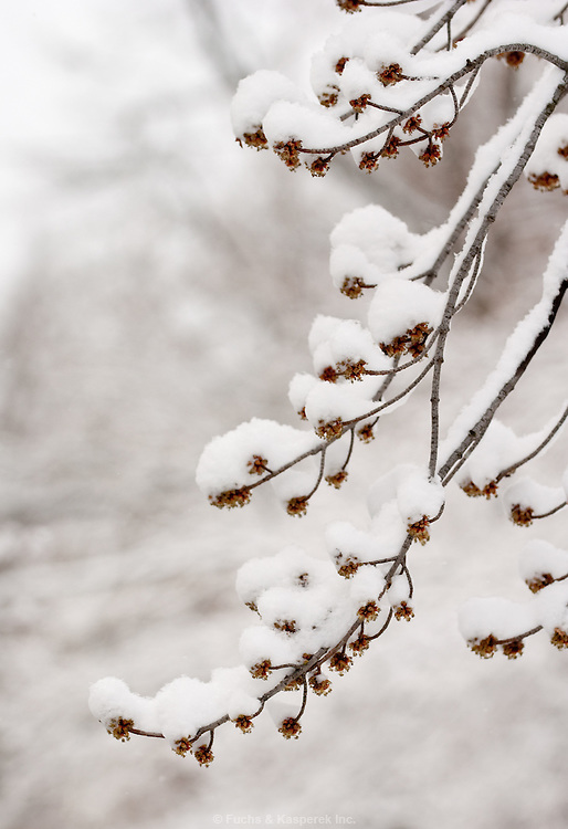 Snow sits high on the branches of a tree.