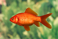 Goldfish, Carassius auratus, captive