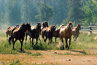 Running horses at Wrangler leading horse at Triangle X Dude Ranch in Grand Teton National Park.