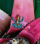 Amazonian Poison Frog, Rio Napo, Peru