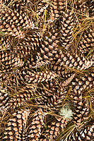 Detail of forest floor pine cones, Madeline Island, Wisconsin.