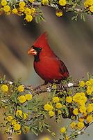 Northern Cardinal (Cardinalis cardinalis), male on blooming Huisache (Acacia farnesiana), Starr County, Rio Grande Valley, Texas, USA