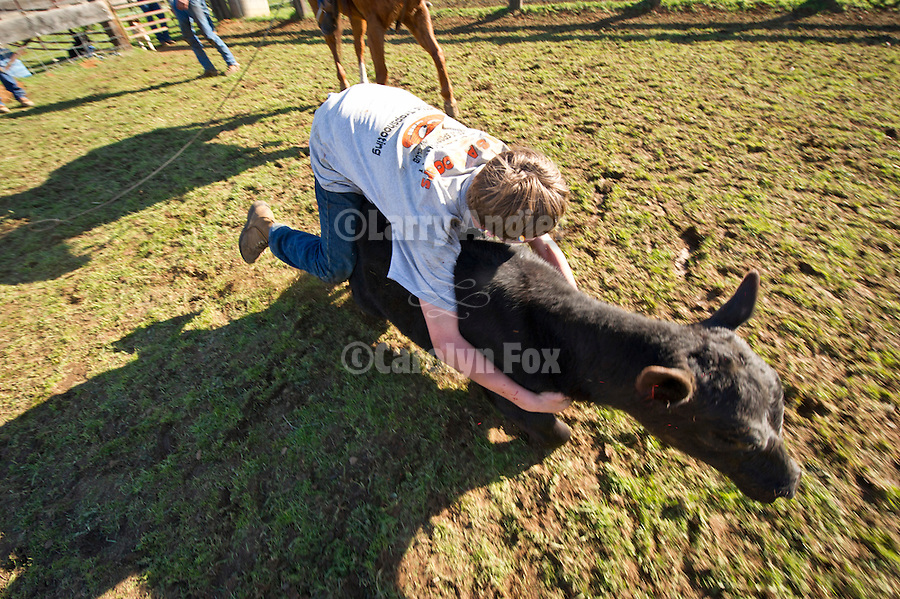 Holding on for dear life while riding a calf during marking and branding at the Stoney Creek Corrals of the Busi Ranch, Amador County, Calif.