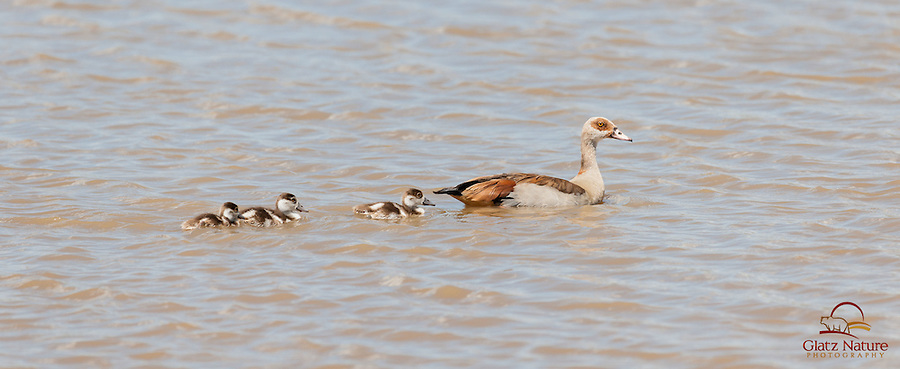 Egyptian Goose (Alopochen Aegyptiacus) mother leads her goslings out of the water when a Crocodile enters the watering hole, Lewa
