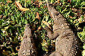 Bakau, Gambia. Close up of two West African Nile crocodiles (Crocodylus niloticus chamses)  lying on water hyacinths at the Sacred Pool, Katchikally.