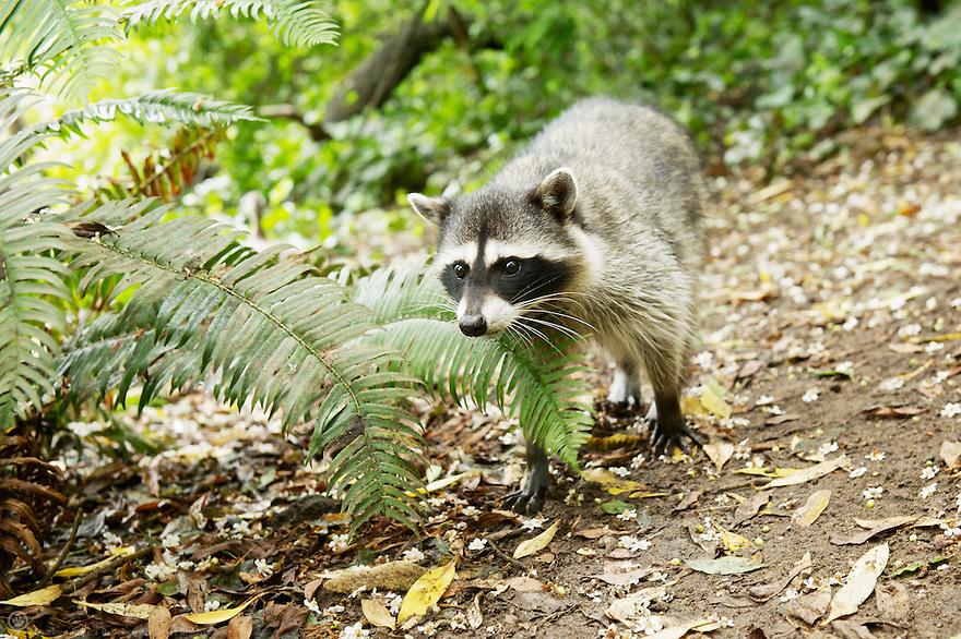 North America, USA, California, San Francisco, Golden Gate Park. Raccoon.