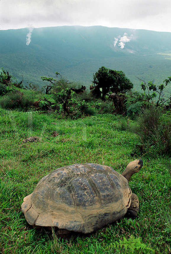 A GALAPAGOS TORTOISE living on the rim of ALCEDO VOLCANO - ISABELLA ISLAND, GALAPAGOS ISLANDS, ECUADOR