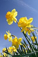 Yellow daffodils against blue sky, Mount Vernon, Skagit Valley, Skagit County, Washington, USA