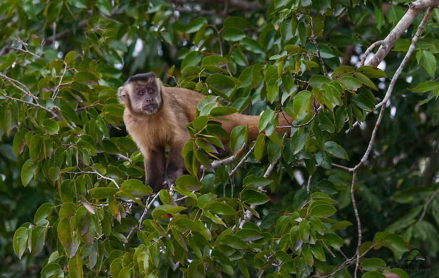 The curiosity of this juvenile Black-striped Tufted Capuchin (Cebus libidinous) comes through in this image.  This little guy was the first of his group to come out into the open to observe the group of boats gathered below.