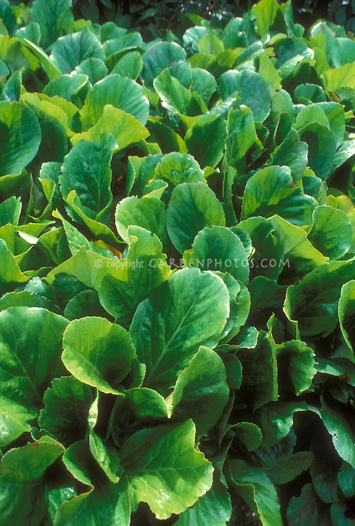 Bergenia crassifolia foliage